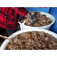 蚂蚱养殖技术蚂蚱养殖基地临沂蚂蚱养殖基地