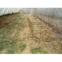 临沂蚂蚱养殖合作社蚂蚱市场越来越好