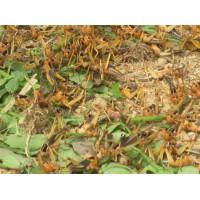 临沂蚂蚱养殖合作社温度对于养殖蚂蚱条件