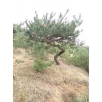 低价出售绿化苗木黑松小苗工程园林景观 18105498909