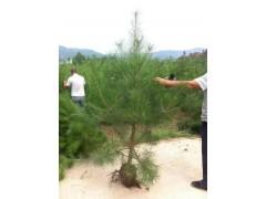 基地供应造型油松树形优美树形优美便宜:18105498909
