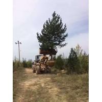 层次分明树形优美泰山景松 规格齐全:18105498909