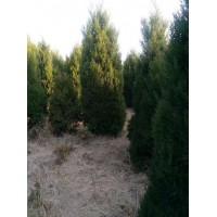 龙柏球萧山小龙柏色块桧柏塔柏工程绿化:18105498909