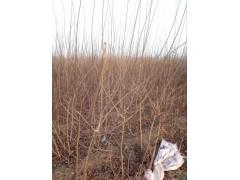 厂家供应 绿化工程 黄栌树供应基地:18105498909