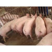 山东临沂满月小猪价格