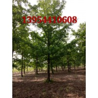 产地直销各种规格银杏树 银杏树13954410608