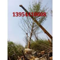 18公分银杏树小苗种植基地13954410608