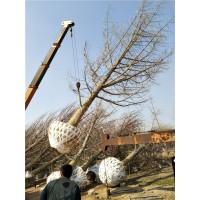 绿化工程银杏树苗 欢迎选购13954410608