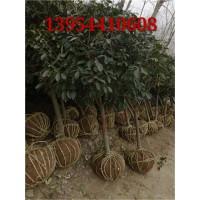 常绿乔木 银杏小苗15 -20公分13954410608