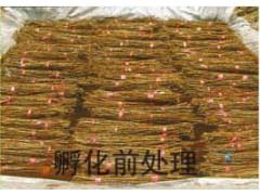 金蝉养殖一定要注意的问题13869935386