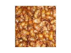 人工孵化养殖金蝉的方法