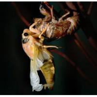 金蝉养殖后怎么样采收和加工13869935386