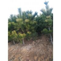 临沂黑松苗生产价格18369521155