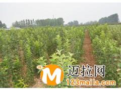 罗庄矮化苹果苗价格13953960712