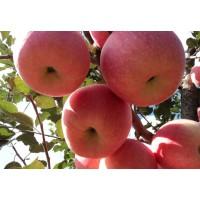 罗庄矮化苹果苗电话13953960712