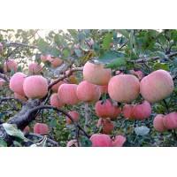 兰山矮化苹果苗价格13953960712
