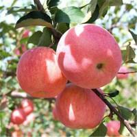 兰山矮化苹果苗电话13953960712