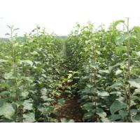 河东矮化苹果苗价格13953960712