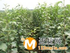 山东矮化苹果苗价格13953960712