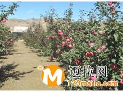 山东矮化苹果苗电话13953960712