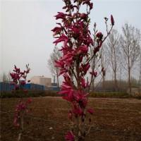 玉兰种苗批发价格15106672111