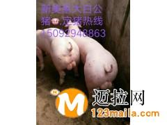 山东仔猪价格电话15092948863