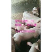 山东仔猪直销电话15092948863