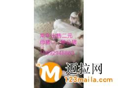 山东仔猪批发价格电话15092948863