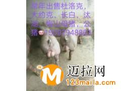 山东仔猪介绍电话15092948863