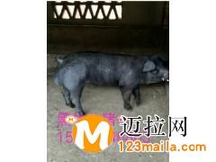 山东仔猪介绍断奶仔猪咬尾是什么造成的15092948863