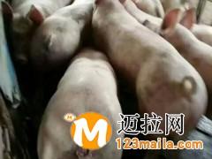 山东仔猪介绍为什么断奶仔猪容易发生腹泻15092948863