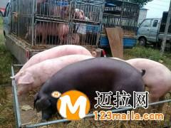 山东仔猪介绍仔猪断奶后的饲养管理15092948863