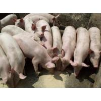 山东仔猪直销15215494755