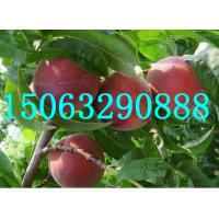 山东桃树苗价格15063290888