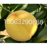 临沂黄金蜜桃苗价格15063290888