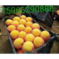 山东黄金蜜桃苗培植15063290888