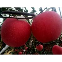 临沂矮化苹果苗培植15063290888