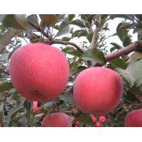 临沂矮化苹果苗价格15063290888