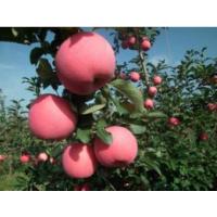 山东矮化苹果苗批发15063290888