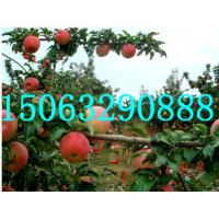 山东矮化苹果苗供应电话15063290888