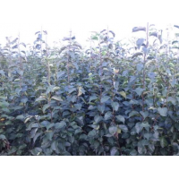 矮化苹果苗,烟富8苹果苗,烟富0苹果苗15063290888