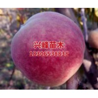 山东晚熟桃品种价格电话18306538838
