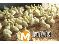 临沂鹅苗孵化厂