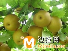 临沂梨树苗厂家,临沂彩叶豆梨