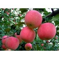 临沂红富士苹果苗,临沂梨树苗