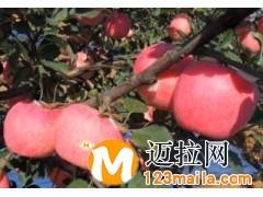临沂红富士苹果苗,临沂梨树苗厂家