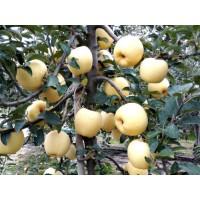 维纳斯黄金苹果苗,临沂彩叶豆梨
