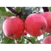 临沂苹果苗木价格,临沂鲁丽苹果苗
