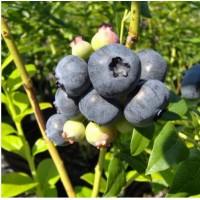 蓝莓苗批发,蓝莓苗价格