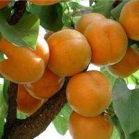 杏树苗批发,杏树苗价格
